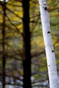 27th Oct 2020 - Birch Tree