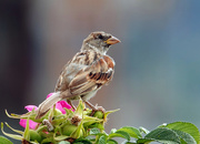 27th Oct 2020 - Sparrow