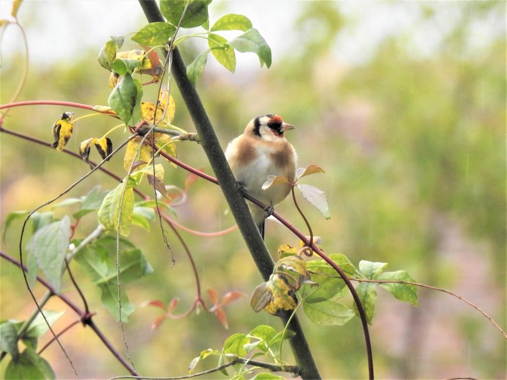 Fat, Fluffy, Goldfinch  by susiemc