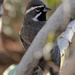 Black-throated Sparrow - Arizona