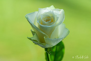 27th Oct 2020 - White rose