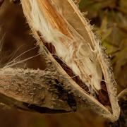 27th Oct 2020 - milkweed pod