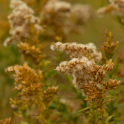 27th Oct 2020 - goldenrod going to seed