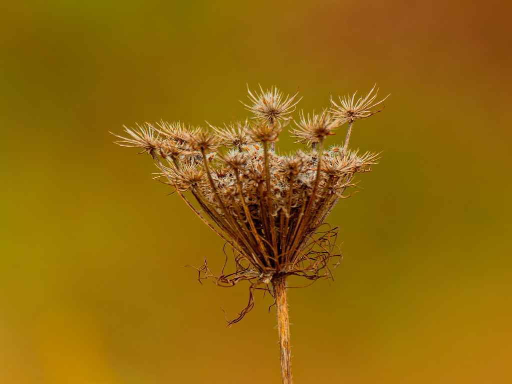 Queen Anne's lace by rminer