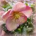 Hellebore in Pink.