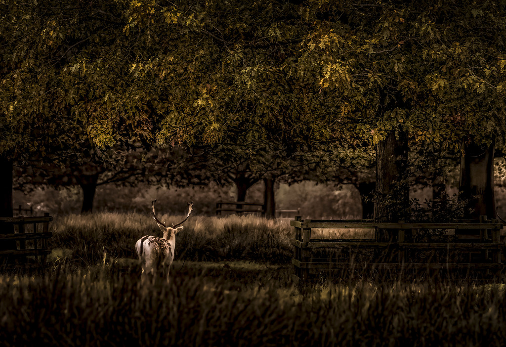 Fallow Stag by shepherdmanswife