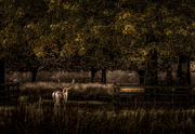 28th Oct 2020 - Fallow Stag