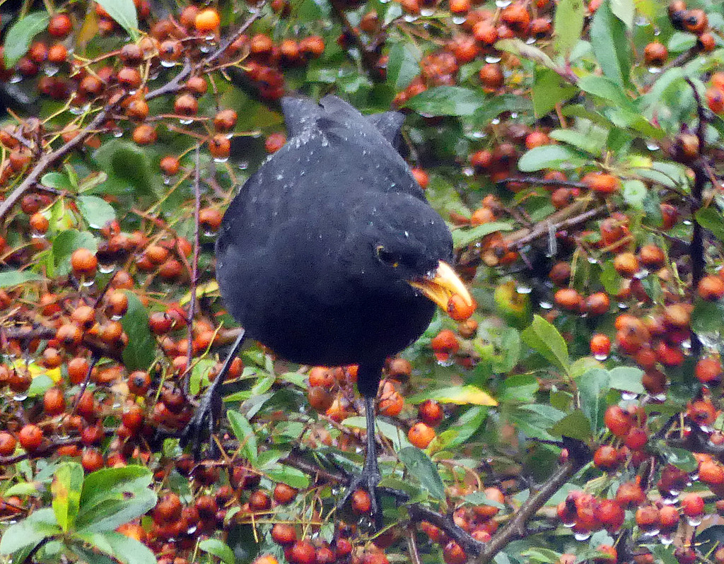 A berry wet day by janturnbull