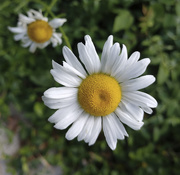 13th Jul 2020 - Summer Flower