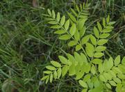 12th Jul 2020 - Summer Green Leaves