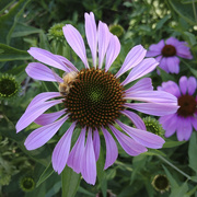 15th Jul 2020 - Summer Coneflower and Bee