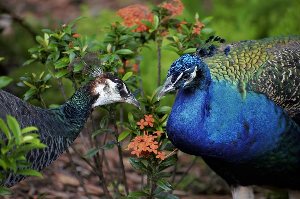 Mrs. & Mr. Peacock by chejja