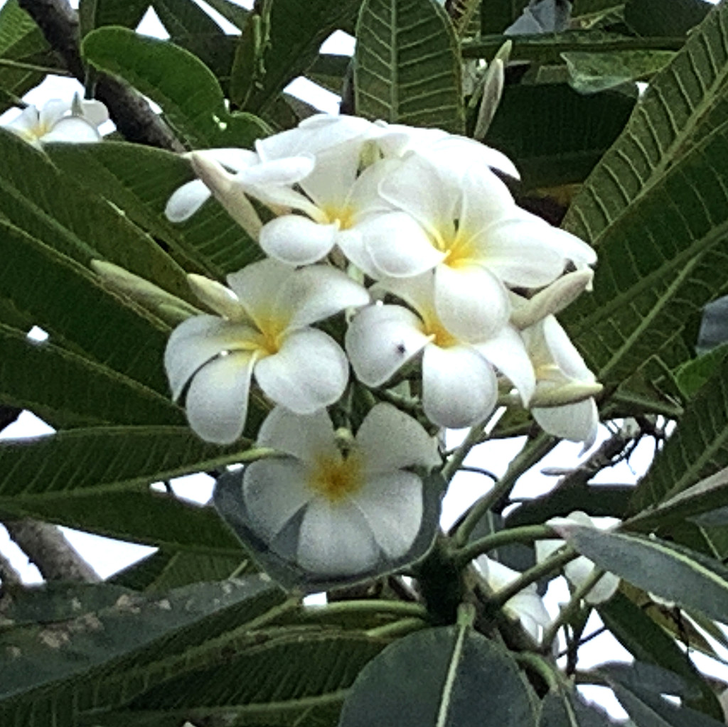 Frangipani Blooms by lilh