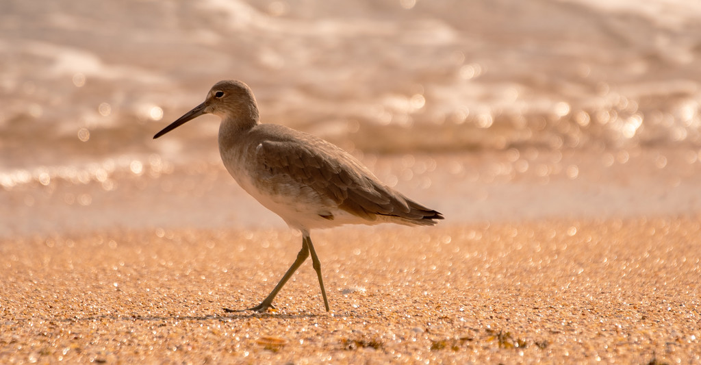 Willet, Walking the Beach! by rickster549