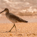 Willet, Walking the Beach!