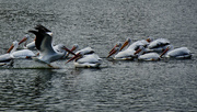 27th Oct 2020 - The white pelicans are back!