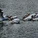 The white pelicans are back!