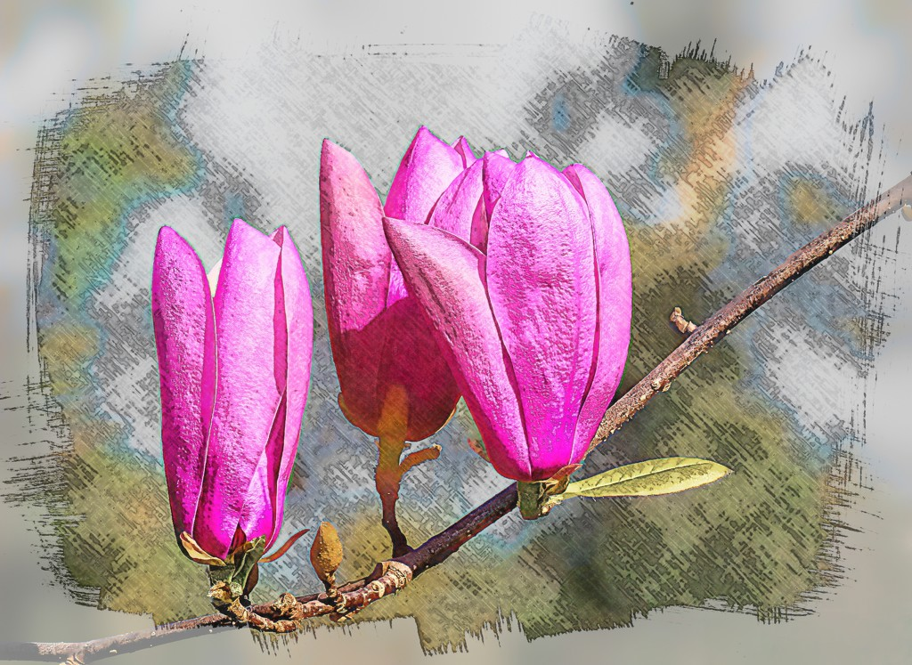 Magnolia Buds by ludwigsdiana