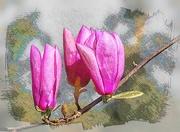 28th Oct 2020 - Magnolia Buds
