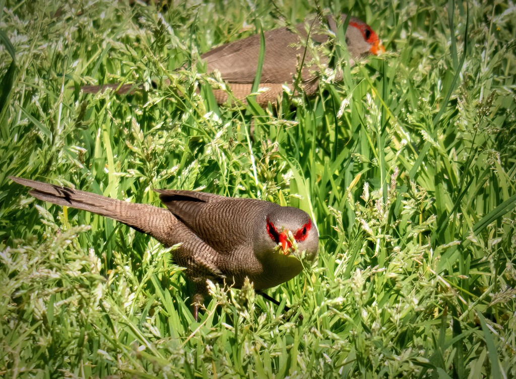 The Waxbills eating the chickweed by ludwigsdiana