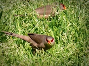 28th Oct 2020 - The Waxbills eating the chickweed