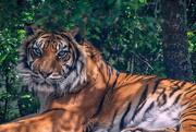 28th Oct 2020 - Tiger