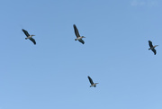27th Oct 2020 - Pelican flyover