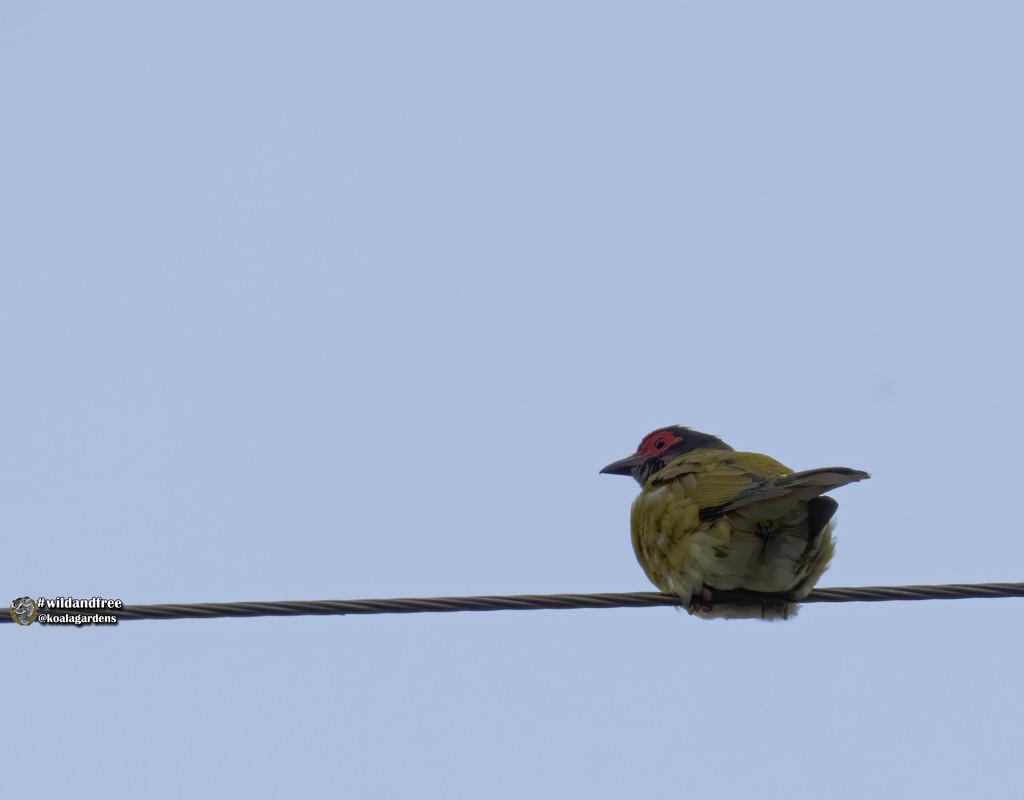male Fig Bird by koalagardens