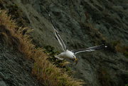 27th Oct 2020 - Black backed gull collection flight