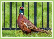 28th Oct 2020 - Cock Pheasant