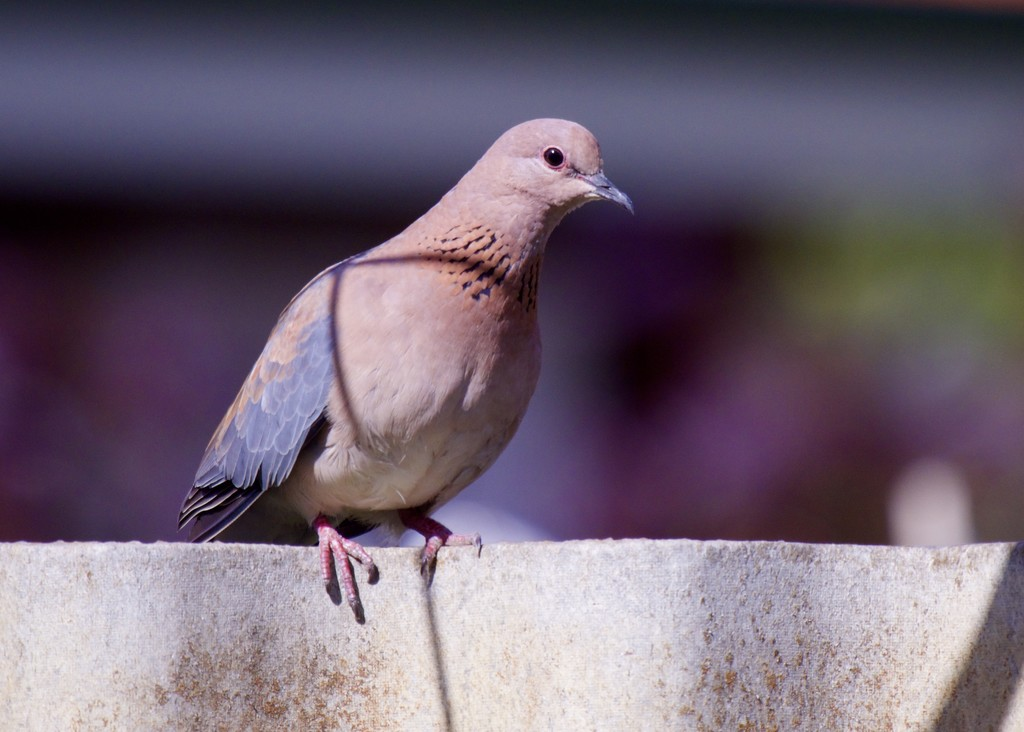 Just A Dove On A Fence PA281050 by merrelyn