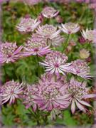 21st Oct 2020 - Astrantia Flowers .