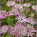 Astrantia Flowers .