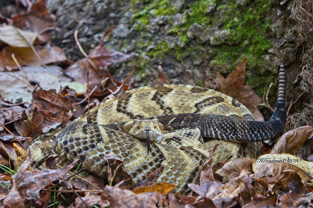 LHG-3608- MR.Timber Rattlesnake curled up by tree trunk by rontu
