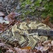 LHG-3608- MR.Timber Rattlesnake curled up by tree trunk