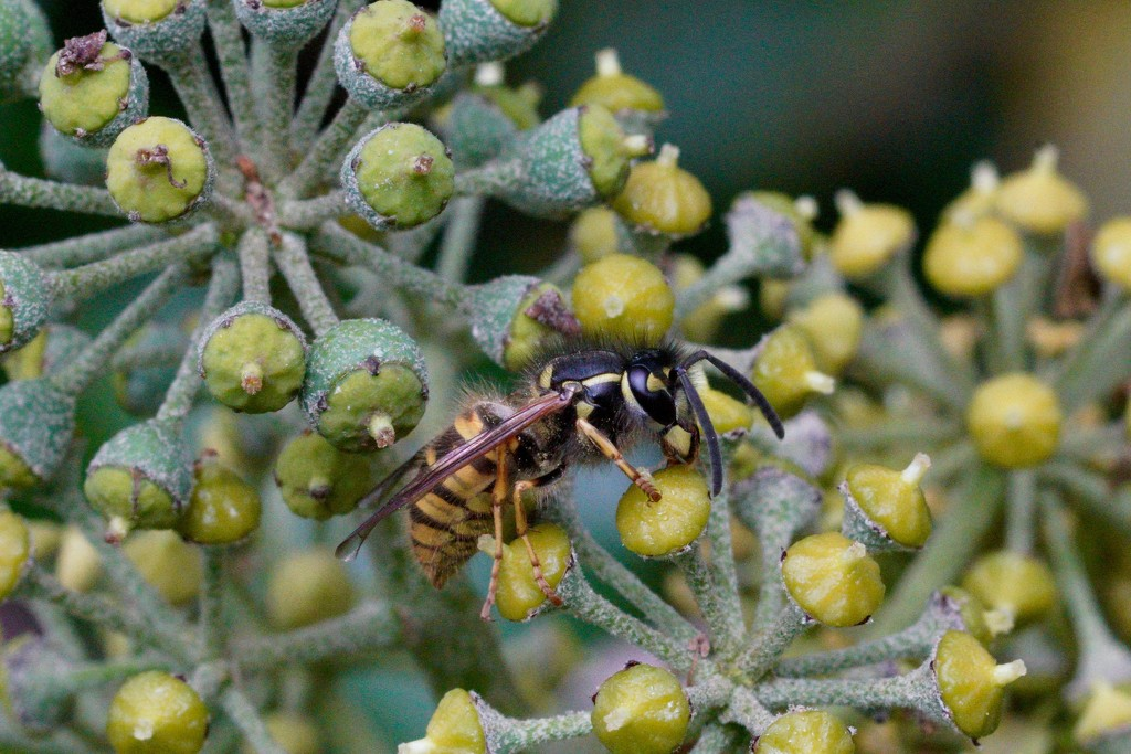 WASP AND IVY by markp