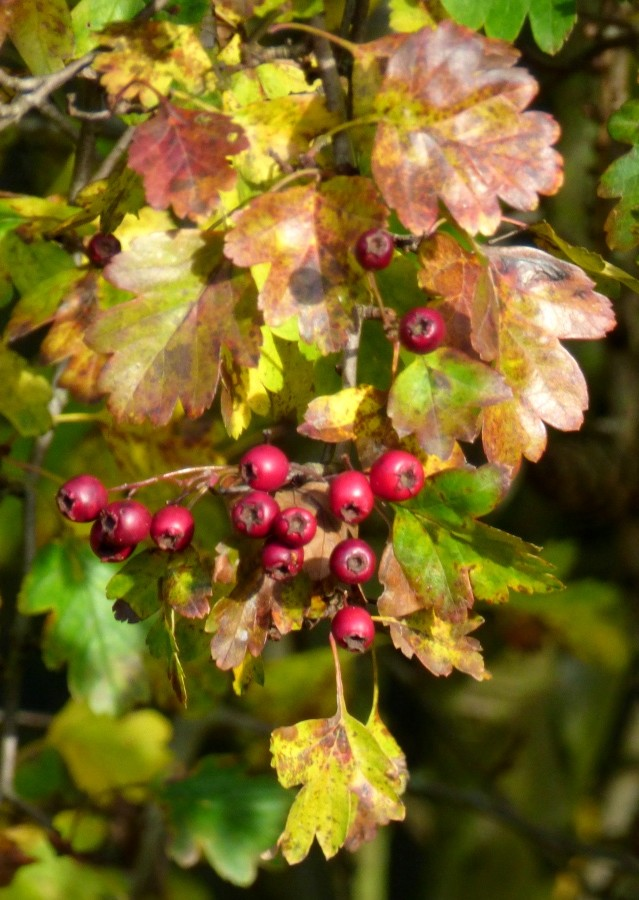 Hawthorn by fishers