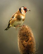 28th Oct 2020 - Goldfinch