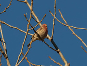 28th Oct 2020 - house finch