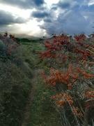 28th Oct 2020 - Sea Buckthorn