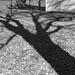 Afternoon shadow Ash tree B&W