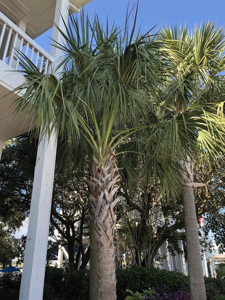 Palm trees by homeschoolmom