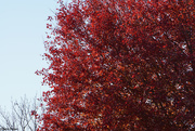 28th Oct 2020 - Red maple