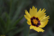 26th Oct 2020 - Coreopsis