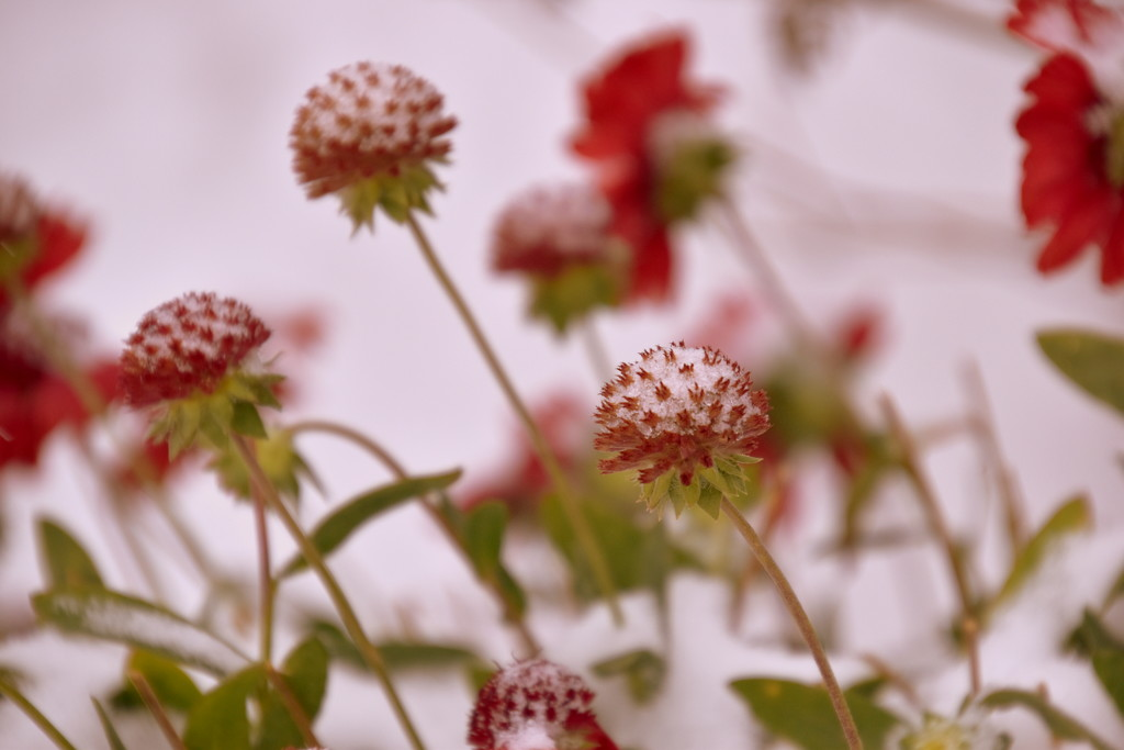 My Blanket Flowers Need a Blanket by genealogygenie