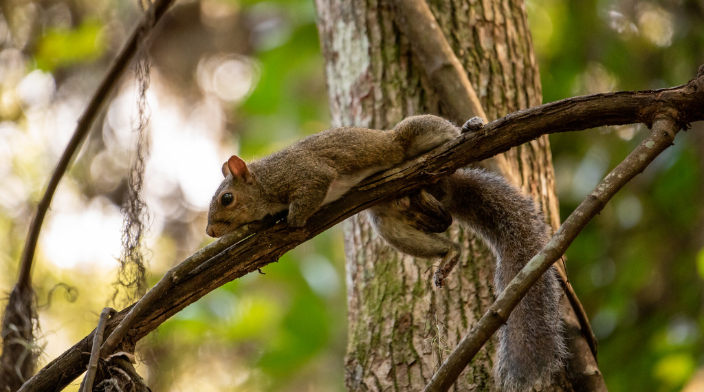 MR Squirrel Having a Lazy Day! by rickster549