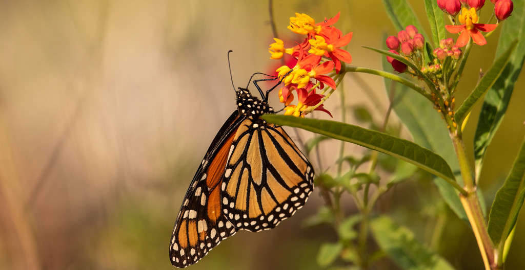 One More of the Monarch Butterfly! by rickster549