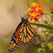 One More of the Monarch Butterfly!