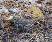 27th Oct 2020 - Fox Sparrow