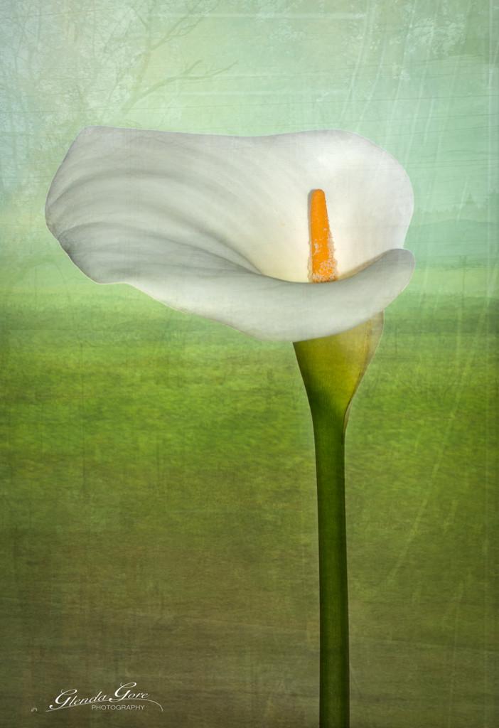 Lily by glendamg
